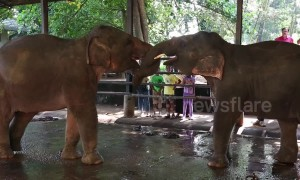 Adorable baby elephants practice play-fighting with each other