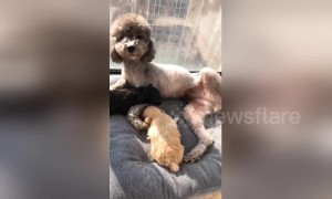 Poodle mum with pups tries to nurse human owner
