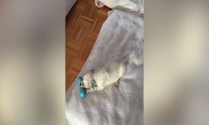 This Puppy Playing with his Toy is the Best thing You'll See Today