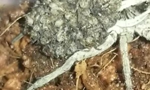 Mama Wolf Spider Carries Babies