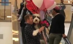 Man holds Sheepadoodle and balloons on escalator