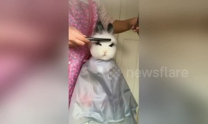 Cute rabbit gets very stylish haircut from her owner