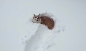 Tiny corgi has trouble walking through deep snow