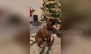 All I want for Christmas is AWOOOOO! Dog absolutely nails amazing duet with Mariah