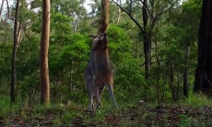 Two Kangaroos Rumble