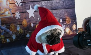 Cute pug poses for Christmas card
