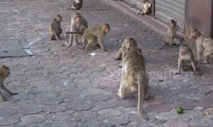Planet Of The Apes: monkeys take over Thai street
