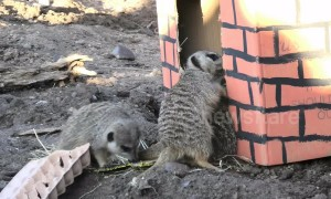 Zoo meerkats go mad for early Christmas present