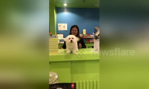 Wag that tail! Clingy Maltese puppy ecstatic to see his human