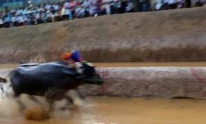 India's traditional 'kambala' buffalo race thrills spectators despite animal rights concerns