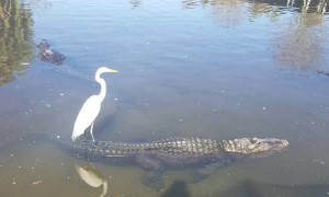 Bird Surfs on Alligator