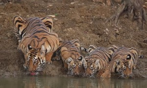 Gorgeous Mama Tiger and Cubs Take a Drink