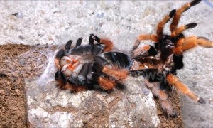 Arachnophobes look away now! Tarantula sheds its skin