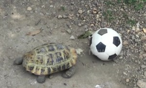 Meet Phu Pha, the tortoise that loves playing football