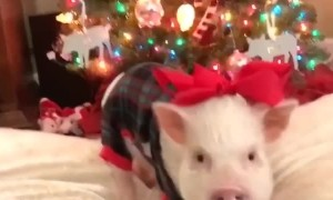 Christmas Pig and Pug Pajama Party
