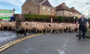 Road block! Flock of hundreds of sheep driven through Yorkshire village