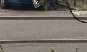 Malaysian Monkey Vandalizes Car