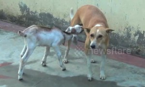 Too cute! Dog adopts orphaned baby goat in India