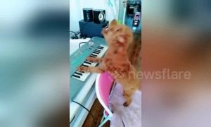 Smart poodle shows off piano and singing skills on command