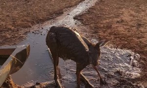 Cooling off a Kangaroo During Summer Heatwave
