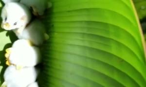 Cute and adorable Honduran white bats