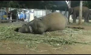 Elephants tuck in for a (rather loud) good night's sleep at India rejuvenation camp