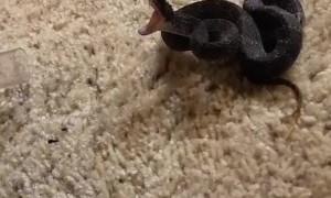 Venomous Viper is Very Irritated