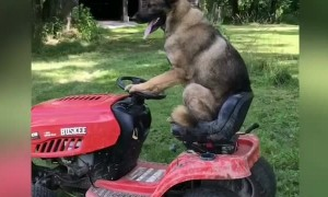 German Shepherd rides lawnmower