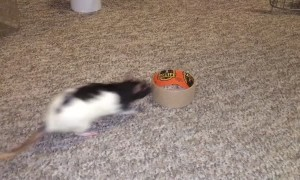 Trained Rat Performs Tons of Tricks