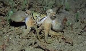 Octopus Versus Octopus