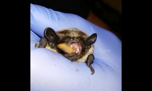 Rescued bat chews on meal worm before being released into the wild