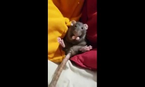 A little rat nibbling dried banana