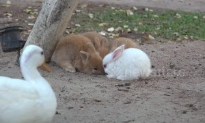Cheeky duck comes in and swoops carrot from adorable bunnies