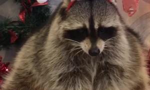 Raccoon Santa Savors a Snack