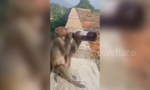 Cheeky monkey chugs a beer