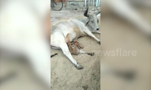 Cow adopts four puppies after their mother dies in accident