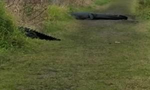 Gigantic Gator Passes By