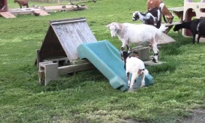 Goats have the time of their lives using playground slide