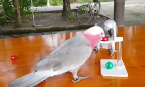 Parrot Pals Play Basketball Together