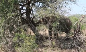 African Elephant Topples Tree