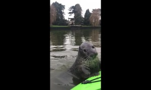 Inquisitive seal swims up to delighted kayaker on the Thames