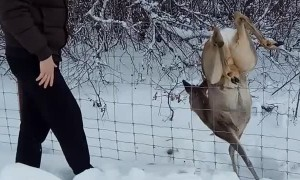 Saving a Deer Stuck in a Fence