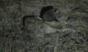 Rare footage shows lioness breastfeeding leopard cub in western India