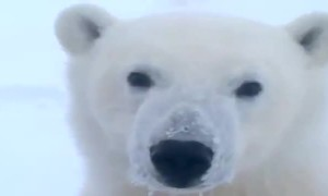 Up-close encounter with a curious Polar Bear