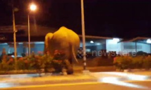 Hormone-crazed wild elephant sparks panic after stomping along motorway