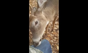 Incredible moment deer approaches, nuzzles hunters