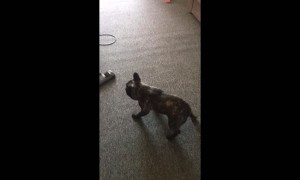 French Bulldog puppy makes vacuuming extremely difficult