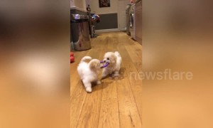 Team work makes the dream work! Puppies work together to play fetch