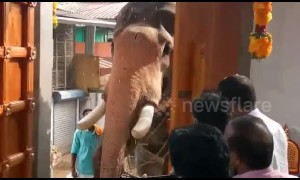 Elephant invited as chief guest to flag off new temple wing