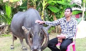 Buffalo born with rare set of wrap-around horns is revered by villagers
